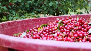 Harvested red cherries (ginja) from Obidos