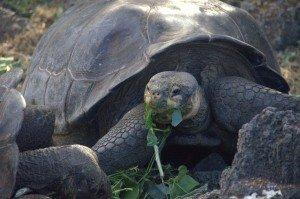 4. Galapagos tortoise