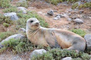 6. Galapagos Sea Lion