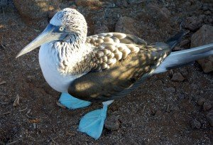 7. Blue-Footed Booby