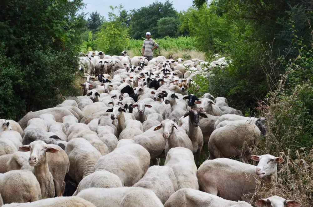 Herding sheep through Tymiopoulos Vineyards, Naoussa.