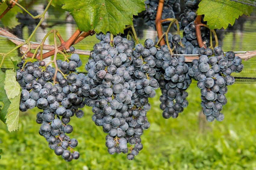 Merlot grapes in Ticino, Switzerland