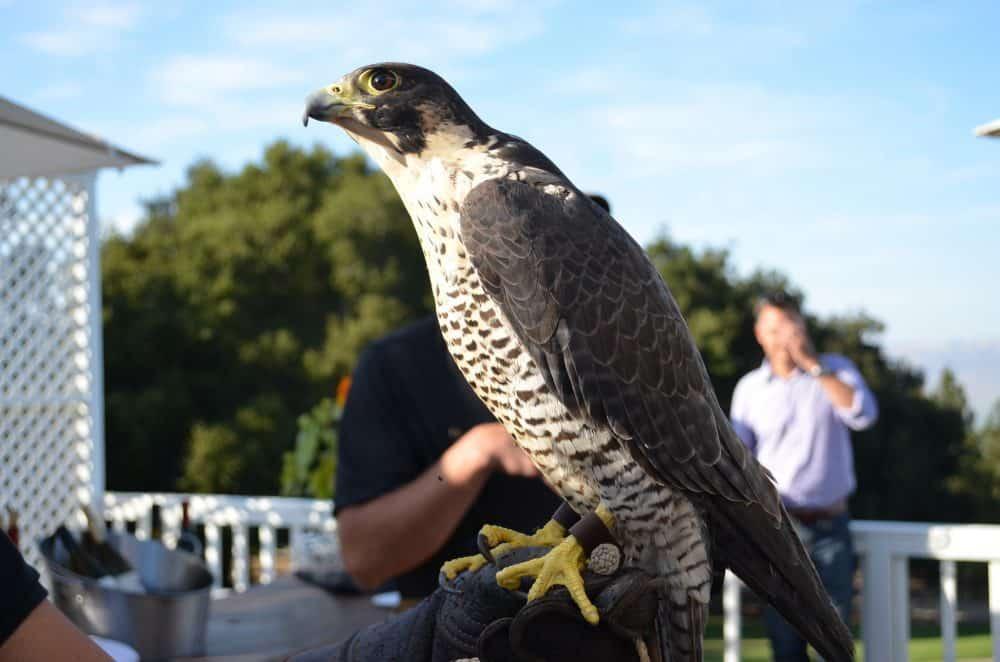 Falcon at Hahn Family Vineyards. Santa Lucia Highlands.