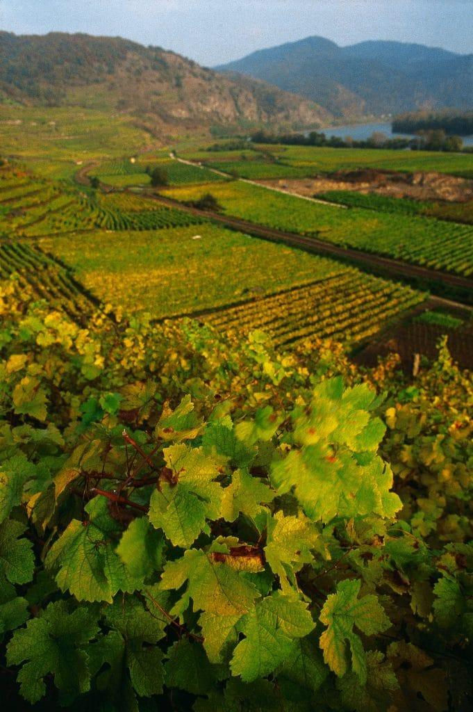 Austrian vineyard near Dürnstein on the Danube. Austria.