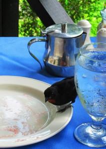 Lesser Antilles Bull Finch Shares Breakfast