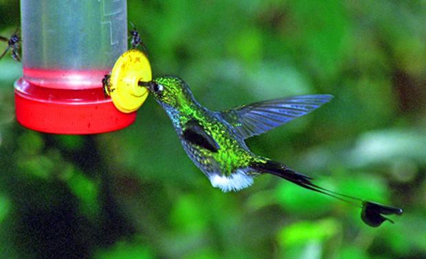 Photo: A booted racquet-tail hummingbird in Ecuador - one of the birds of Ecuador (c) Melanie Votaw. FWT Magazine