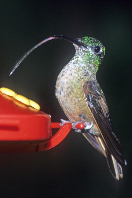 An Andean Emerald hummingbird - one of the birds of Ecuador (c) Melanie Votaw. FWT Magazine.