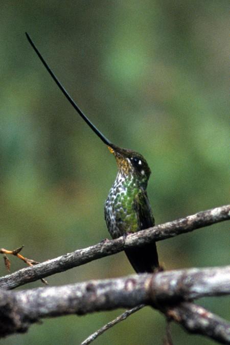 Female sword-billed hummingbird. Ecuadoran Andes (c) Melanie Votaw. FWT Magazine.
