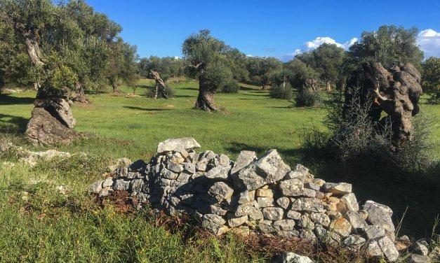 Saving Puglia's Olive Groves One Tree at a Time: Masseria Il Frantoio