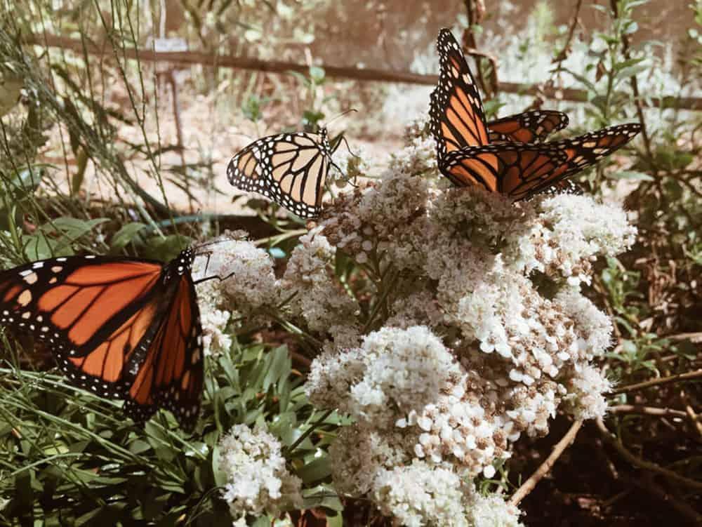 Monarch Butterflies feeding at the Rancho Santa Ana Botanic Garden