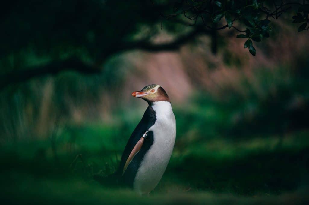 The yellow-eyed penguin, New Zealand. FWT Magazine.