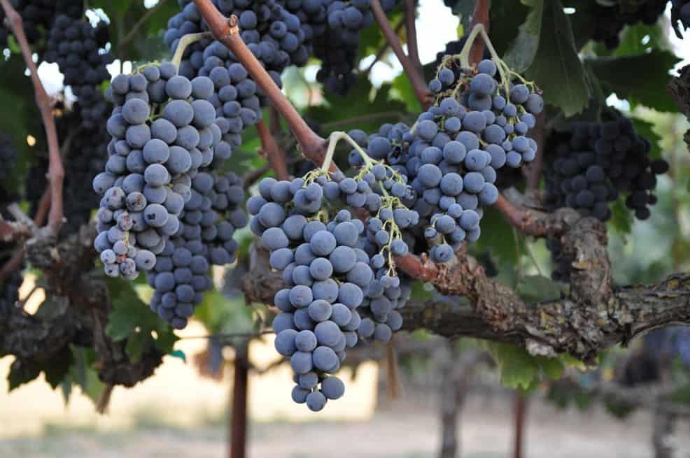 Grapes at St. Jorge Winery © Lori A. May