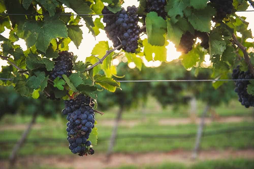 Grapes on the vine in Gillespie County