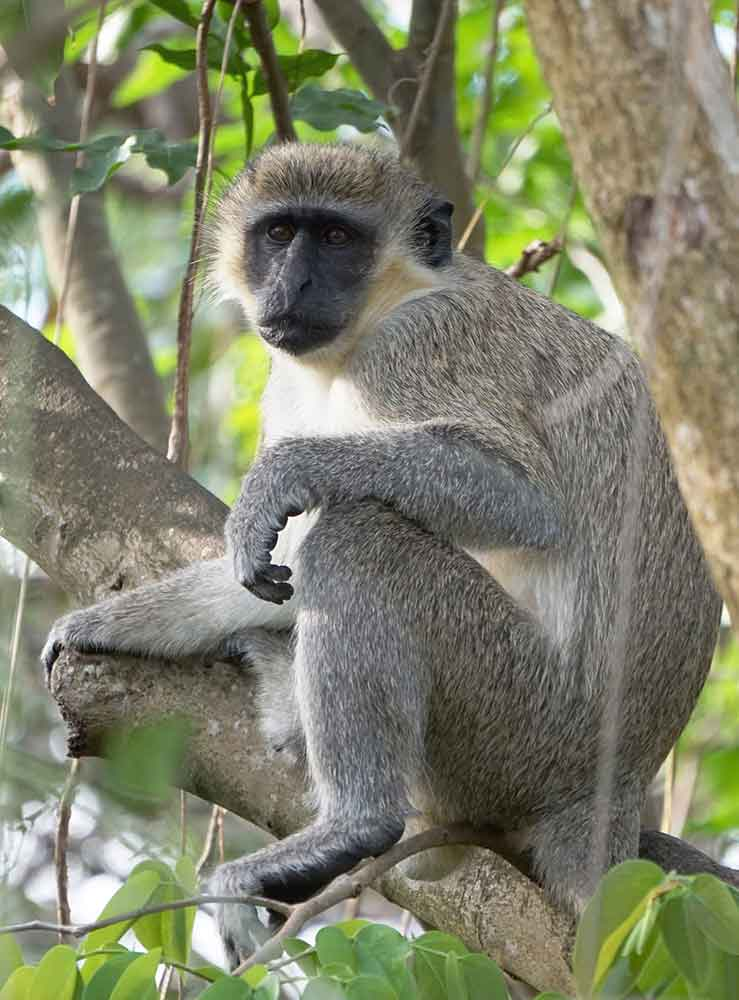 Green Vervet Monkey, Nevis, West Indies