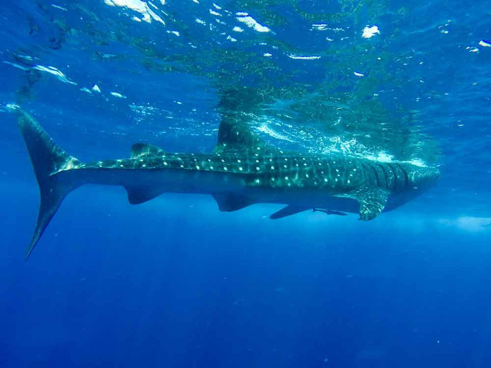 Whale shark, Isla Mujeres, Mexico