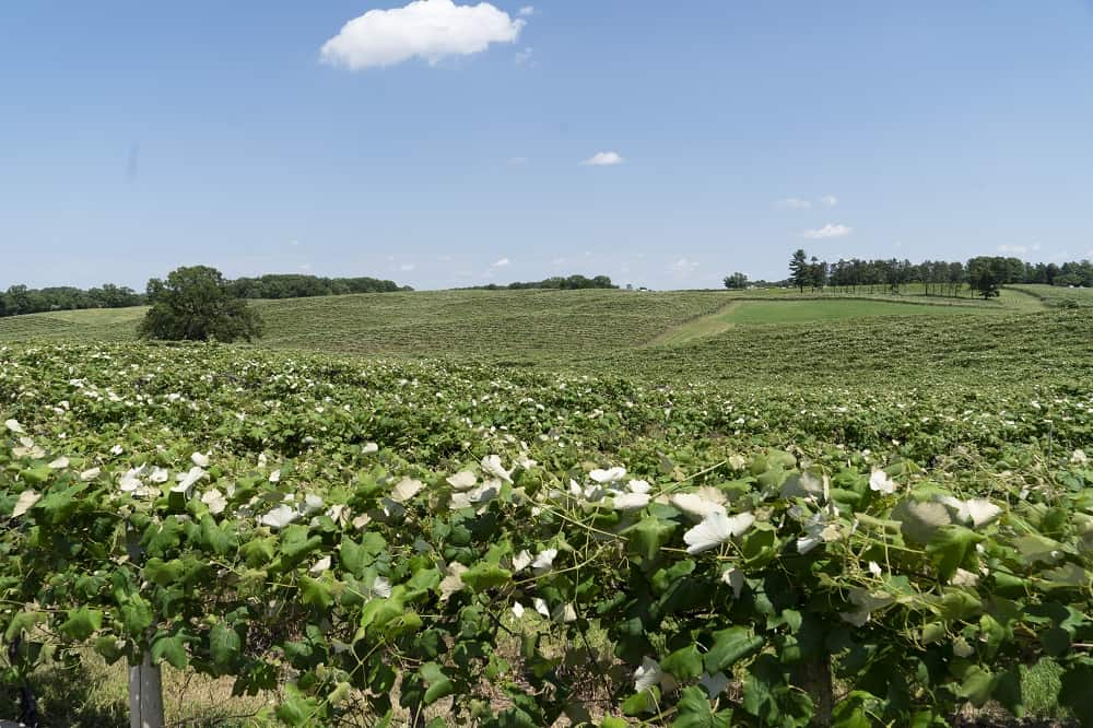 View of St. Julian vineyards